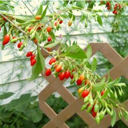 goji berry planting instructions